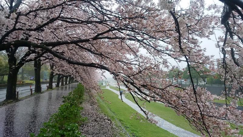 桜満開(水無川さくら道)
