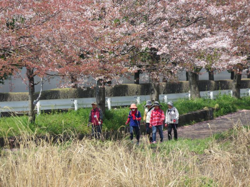 右岸には桜が残っております
