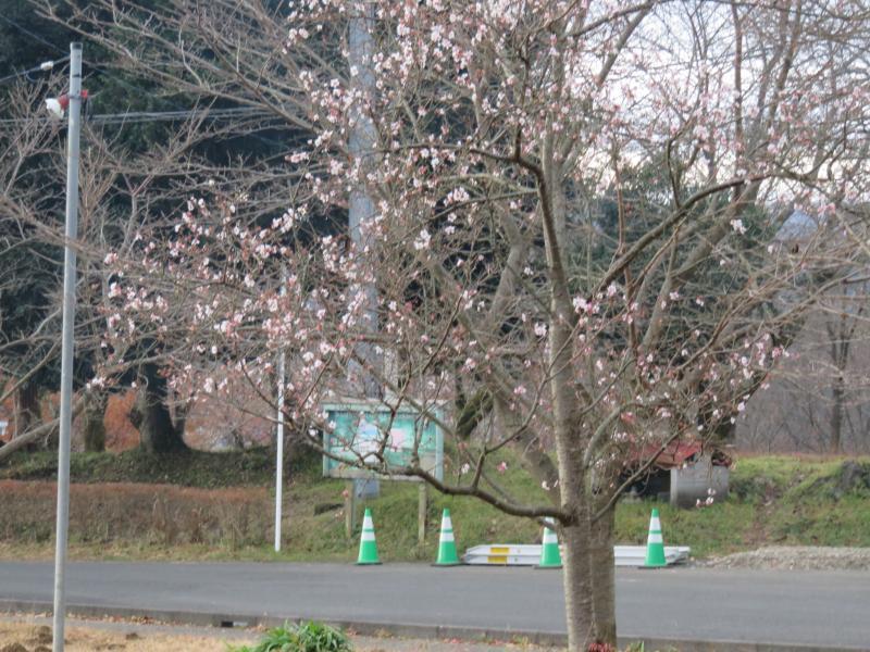 桜が咲いています(10月桜?)