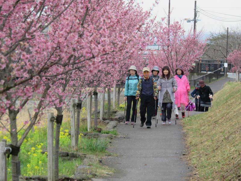 おかめ桜は見ごろを迎えております