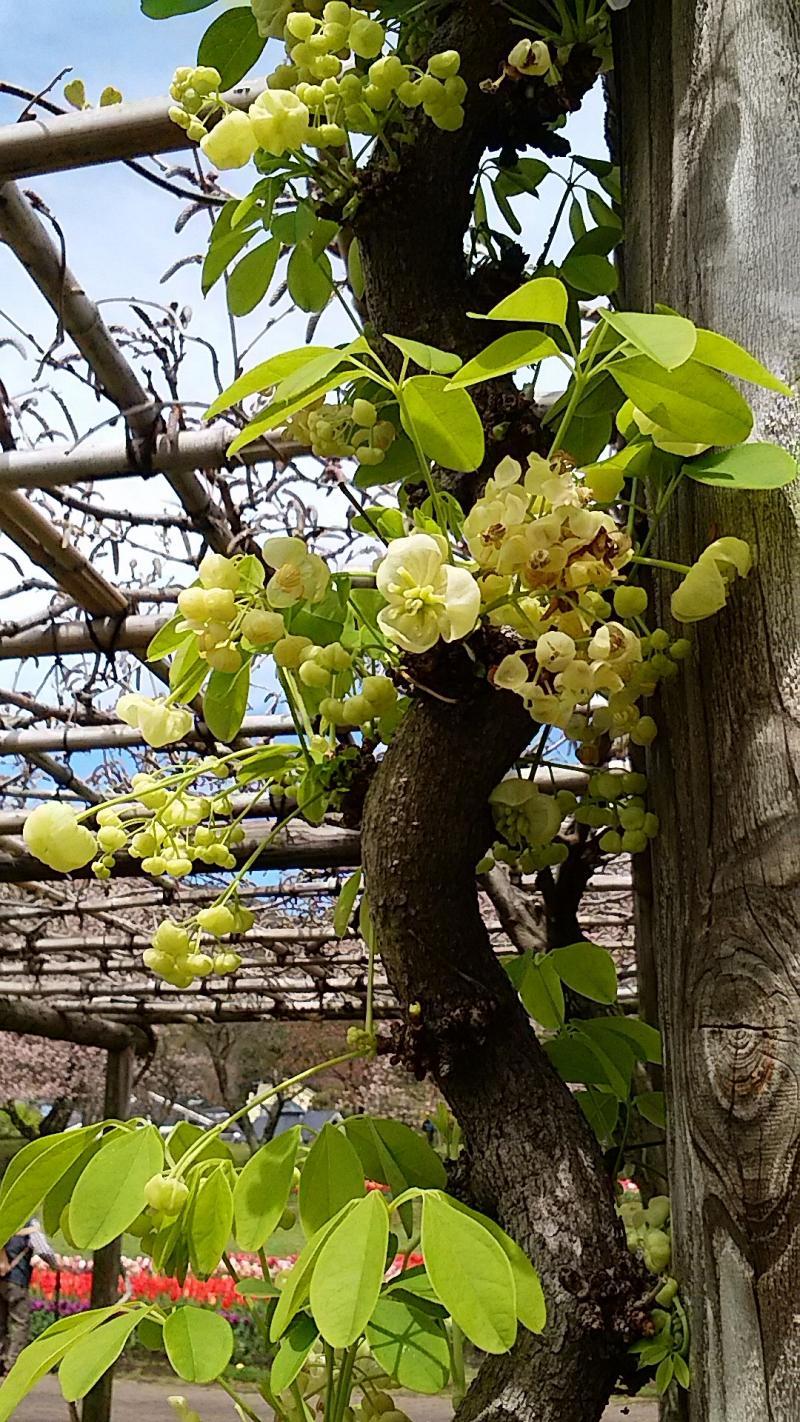 藤の花よりアケビの花が咲いている