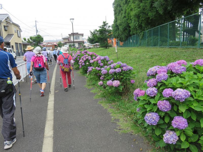 紫陽花が咲いています