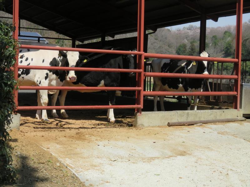 途中で牛舎(ホルスタイン)