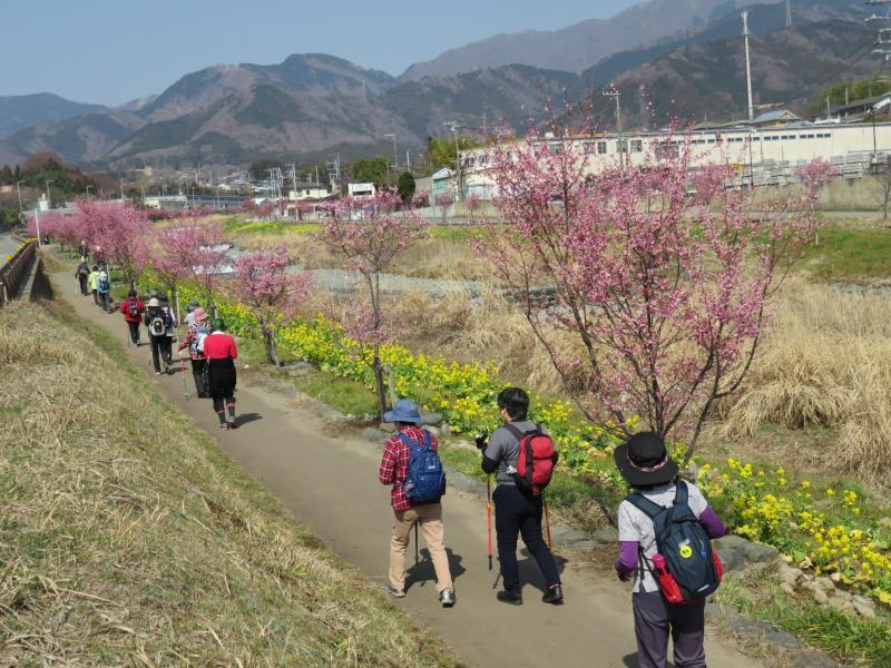 おかめ桜と菜の花