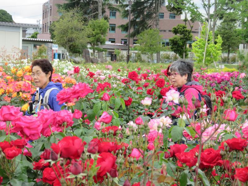 バラの花の色は鮮やか