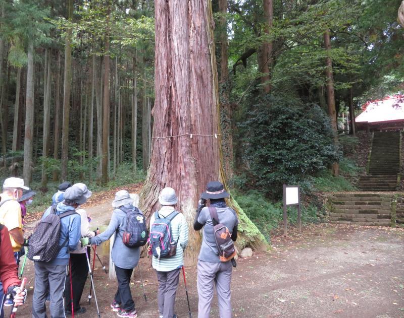 高さ46m、幹回り5mの杉