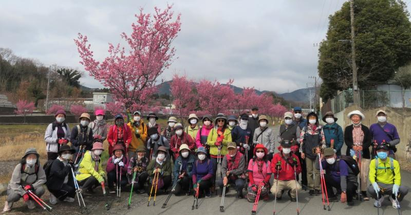 おかめ桜が満開