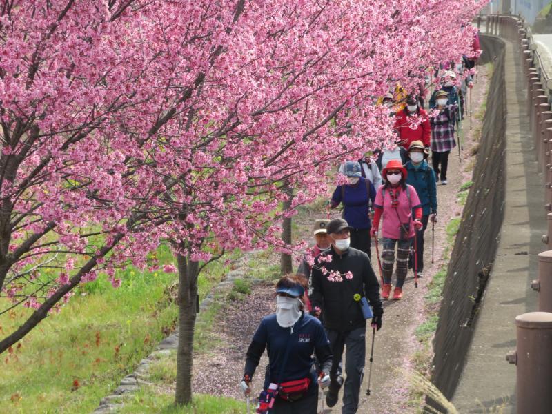 帰りは桜のトンネル?