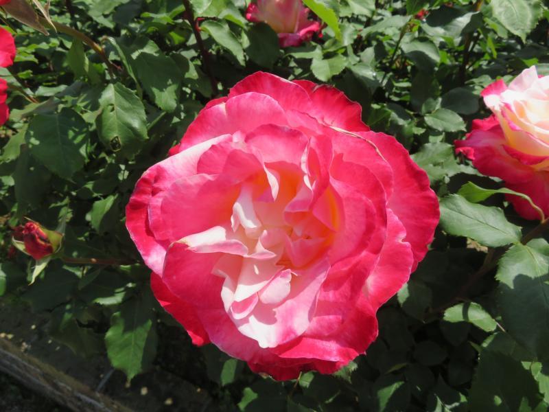 バラの香りは・・・・