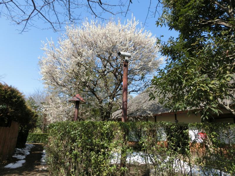 民家園の梅は見ごろ