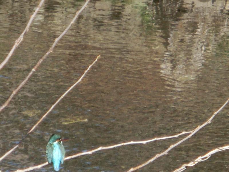 野川で見たカワセミ