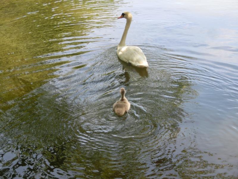 池で生まれた白鳥の子供