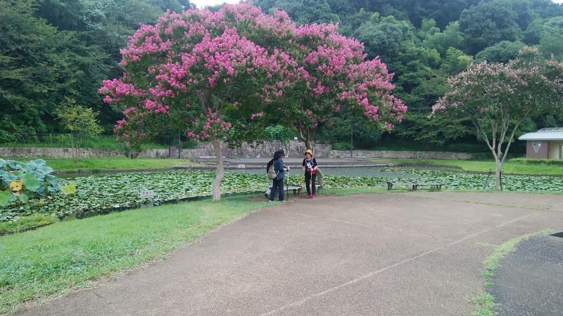 夏の木、山茶花が満開
