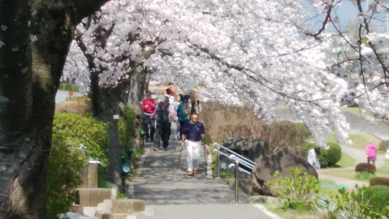 桜土手を行く