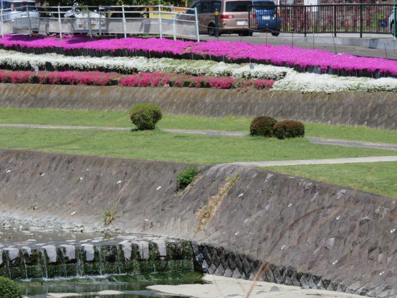 桜が散り次は芝さくらです