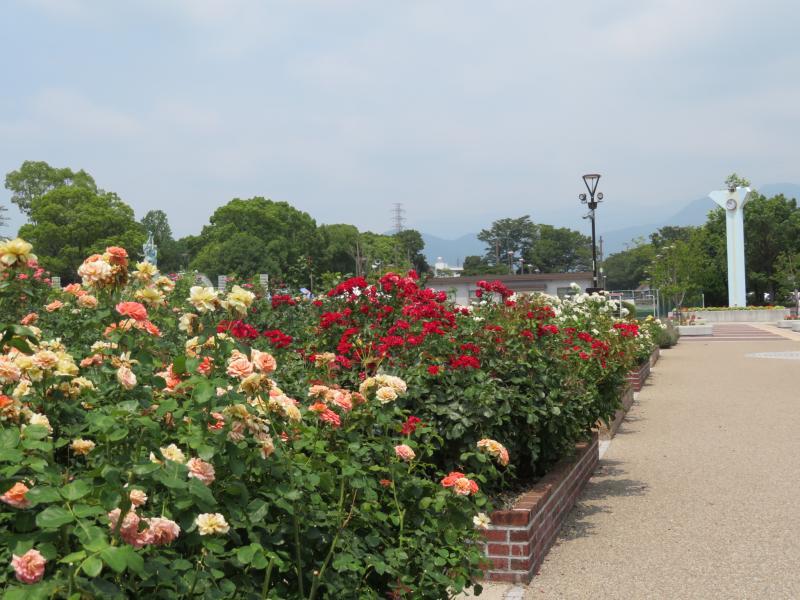 カルチャパークのばら苑
