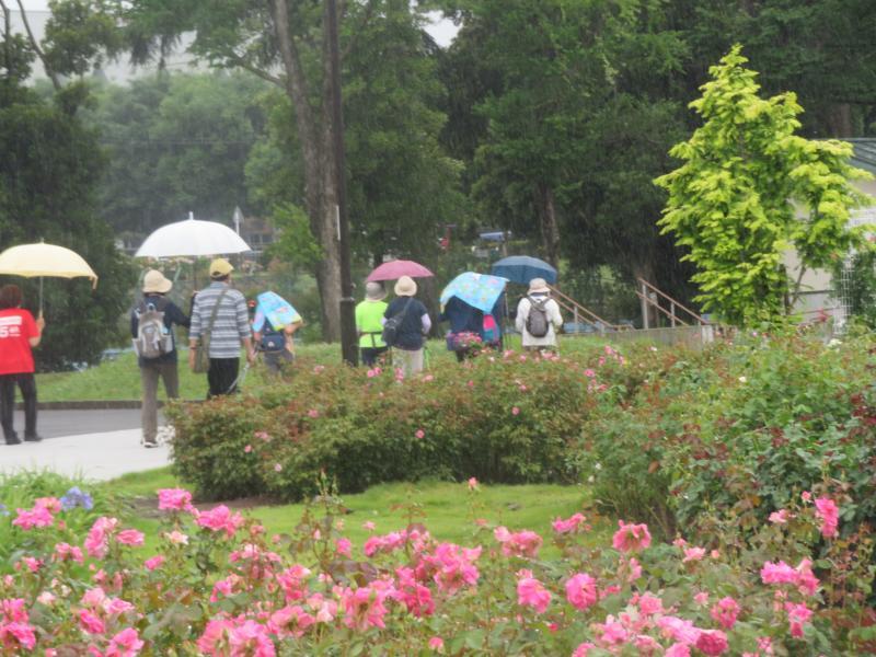 傘をさしてバラ園を通過