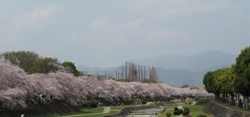 今年のPWは桜満開でした