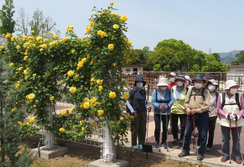 フェンスに黄色のバラ